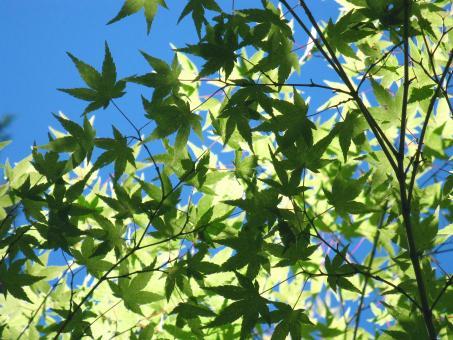 Free Stock Photo of Green Maple Leaves against Blue Sky