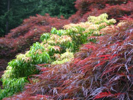 Free Stock Photo of Japanese Maple Trees in Contrasting Colors
