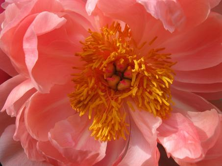 Free Stock Photo of Close-up of Coral Peony with Gold Center