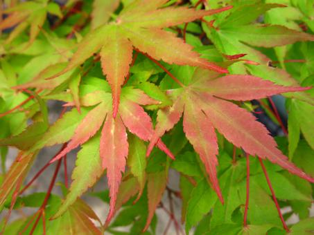 Free Stock Photo of Bright Green & Red Japanese Maple Leaves