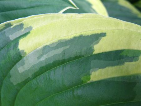 Free Stock Photo of Extreme Close-up of Variegated Hosta Leaf