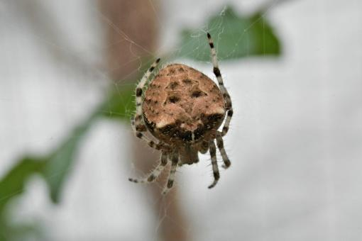 Free Stock Photo of Cat face spider - Araneus gemmoides