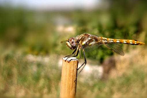 Free Stock Photo of Dragonfly Resting