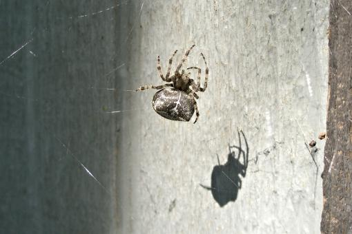 Free Stock Photo of Orb Spider in the Sun