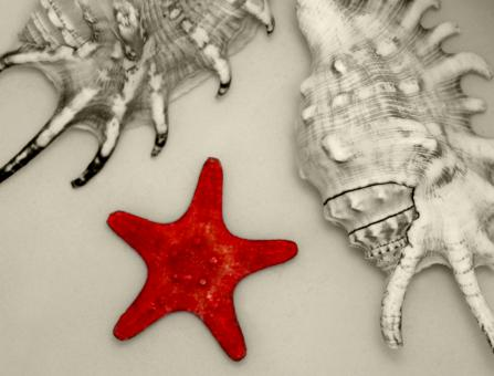 Free Stock Photo of A Red Starfish and Two Big Seashells