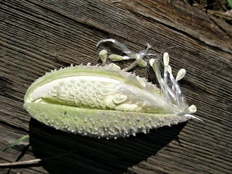 Free Stock Photo of Milkweed Seed Pod