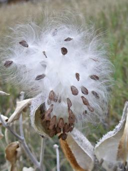 Free Stock Photo of Fluffy Ball of Milkweed Seeds