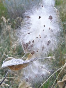 Free Stock Photo of Milkweed Seeds Leaving Pods