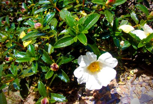 Free Stock Photo of  Cistus Palhinhae - Threatened Species of Rockrose