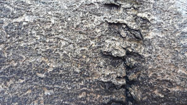 Free Stock Photo of Bark Texture of the Durian Tree