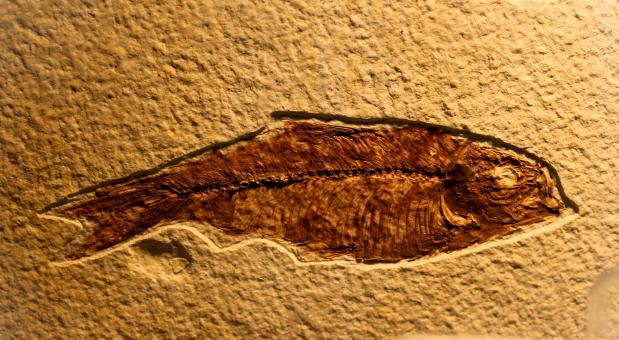 Free Stock Photo of Fossil of Fish