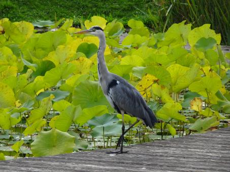 Free Stock Photo of Mister heron among the lotus