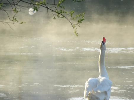Free Stock Photo of The singing swan