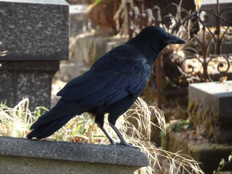 Free Stock Photo of Yes!! I'm a bird of ill omen... Excellent grave keepe!
