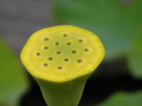 Free Stock Photo of Not a shower's head, but a former lotus flower