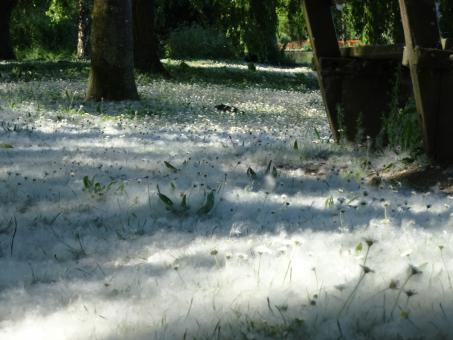 Free Stock Photo of Grass covered by what seems to be snow (coming from willows in fact)