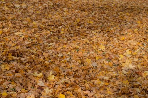 Free Stock Photo of Yellow Carpet of Leaves