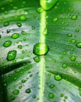 Free Stock Photo of Water drops on a green tropical leaf