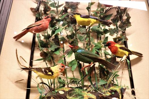Free Stock Photo of Some of the museum's stuffed birds