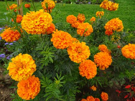 Free Stock Photo of Marigolds again ! Yes but it's THE orange flower...