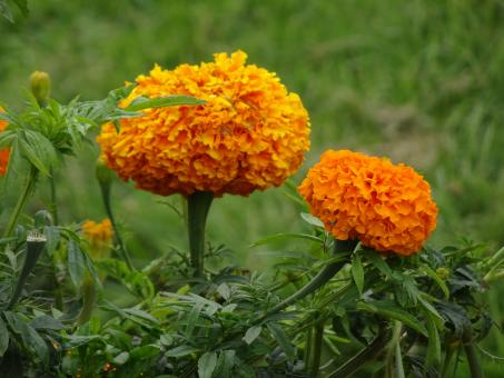 Free Stock Photo of Marigolds with double flowers