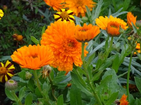 Free Stock Photo of Close-up of a beautiful orange marigolds