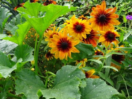 Free Stock Photo of Black, red and orange sunflowers