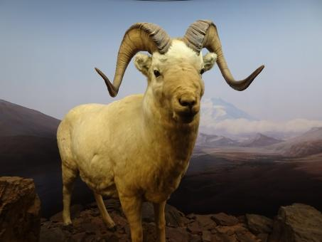 Free Stock Photo of Diorama exhibition: stuffed mouflon