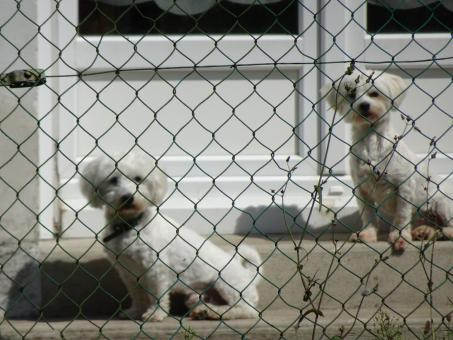 Free Stock Photo of Two white toy poodles behind a wire fence