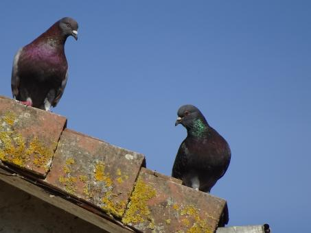 Free Stock Photo of Two grey pigeons on a roof