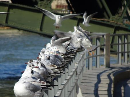 Free Stock Photo of Seagulls on the fence of a riverbank
