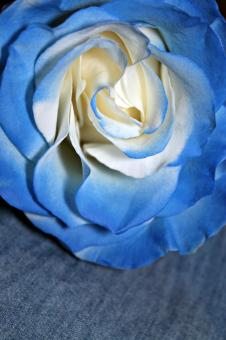 Free Stock Photo of Light blue rose