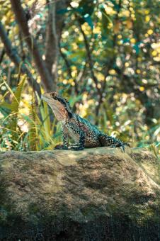 Free Stock Photo of Lizard on a Rock