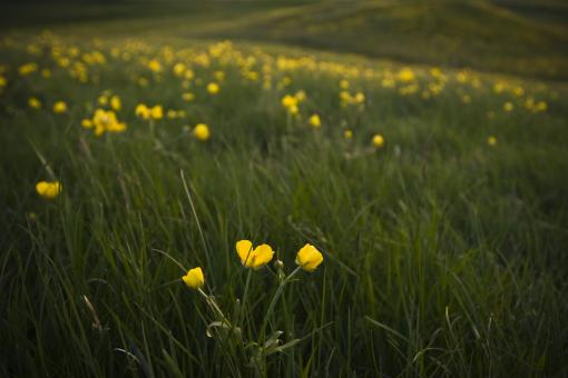 Free Stock Photo of Yellow Flowers in a Field