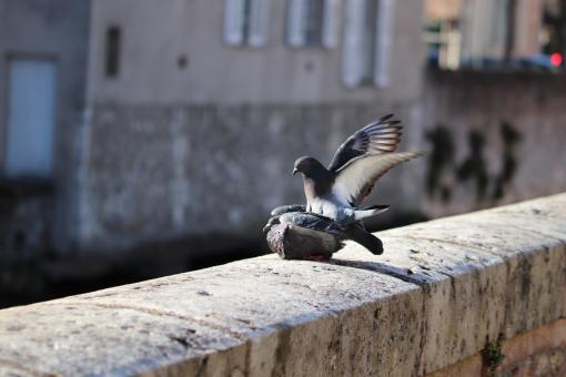 Free Stock Photo of Pigeon on duty!