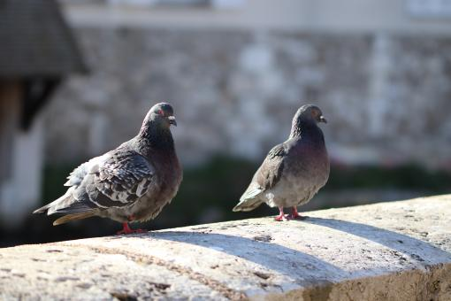 Free Stock Photo of Pigeons couple