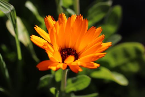 Free Stock Photo of Marigold Flower Close-up