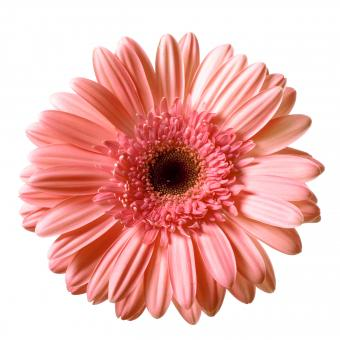 Free Stock Photo of Isolated Gerbera Flower