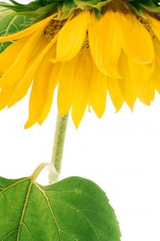 Free Stock Photo of Yellow Sunflower Closeup