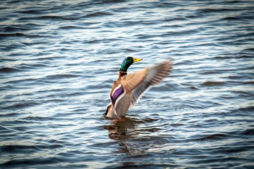 Free Stock Photo of Flying Duck