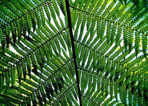 Free Stock Photo of Giant Fern Leaves - Bussaco National Forest - Portugal