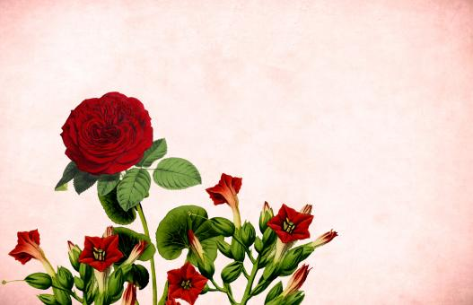Free Stock Photo of Red Rose Vintage Card