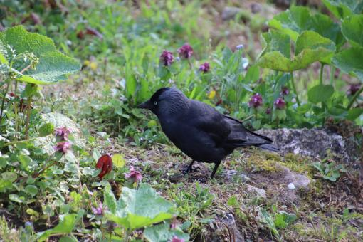 Free Stock Photo of I'm a garden lover crow!
