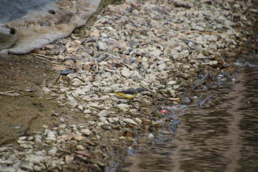 Free Stock Photo of Yellow wagtail by water