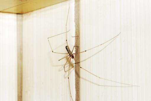 Free Stock Photo of Long Legged Spider on Wall