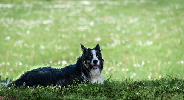 Free Stock Photo of Border Collie
