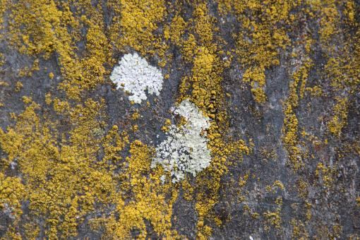 Free Stock Photo of Yellow Lichens on Stone