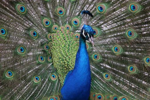 Free Stock Photo of Proud as a Peacock