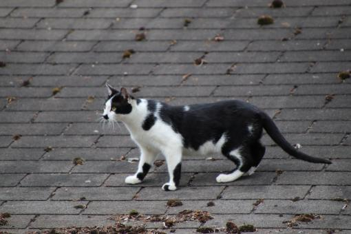 Free Stock Photo of Black and white cat hunting on a roof