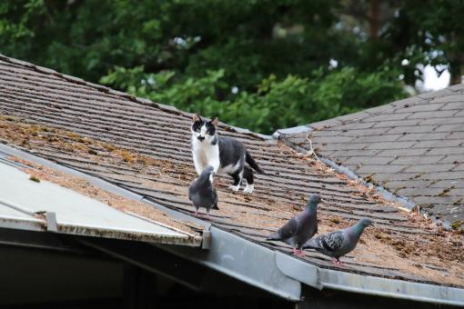 Free Stock Photo of Cat hunting pigeons on a roof